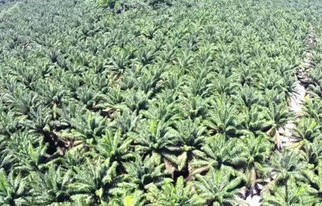 Palma Tica